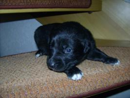 Foto 5 Bordercollie / Sch�ferhund Mischlings Welpen