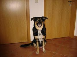 Foto 6 Bordercollie / Sch�ferhund Mischlings Welpen