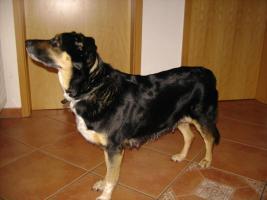 Foto 7 Bordercollie / Sch�ferhund Mischlings Welpen