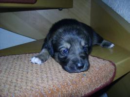 Foto 8 Bordercollie / Sch�ferhund Mischlings Welpen