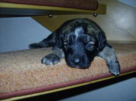 Foto 9 Bordercollie / Sch�ferhund Mischlings Welpen
