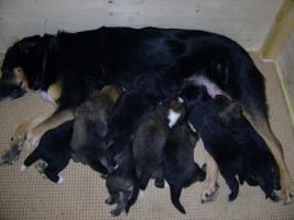 Foto 10 Bordercollie / Sch�ferhund Mischlings Welpen