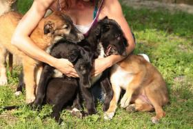 Foto 2 Borzoi puppies