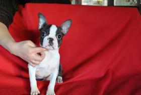 Boston Terrier Champion Pup