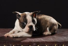 Foto 2 Boston Terrier Champion Pup
