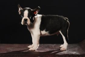 Foto 3 Boston Terrier Champion Pup