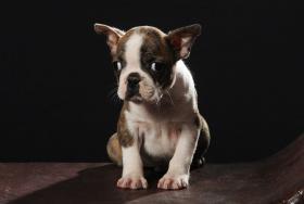 Foto 4 Boston Terrier Champion Pup