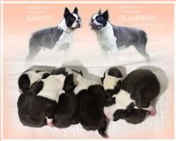 Foto 4 Boston Terrier Champion Pups