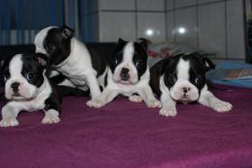 Foto 2 Boston Terrier Welpen