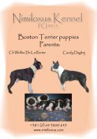 Boston Terrier Welpen zu verkaufen