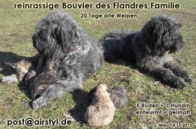 Foto 13 Bouvier des Flandres Welpen (reinrassig) in Kürze