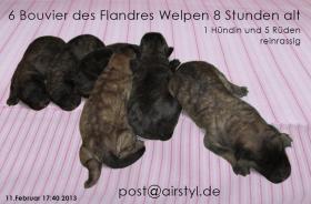 Foto 14 Bouvier des Flandres Welpen (reinrassig) in Kürze