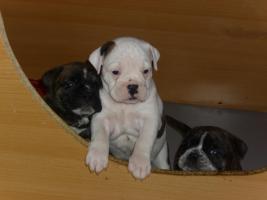 Boxer-Bulldoggen