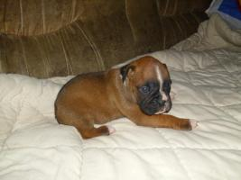 Foto 2 Boxer Hunde
