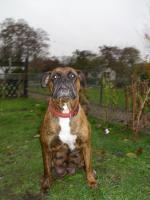 Foto 7 Boxer Hunde