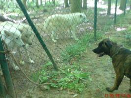 Boxer/Labrador