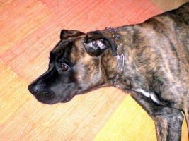 Foto 2 Boxer/Labrador