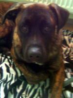 Foto 3 Boxer/Labrador