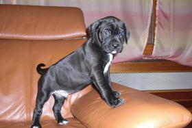 Boxer-Labrador Mischlinge