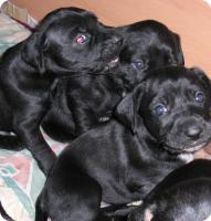 Foto 2 Boxer-Labrador Mischlinge