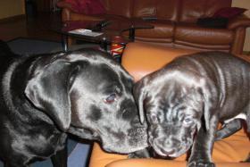 Foto 3 Boxer-Labrador Mischlinge