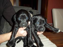 Foto 5 Boxer-Labrador Mischlinge