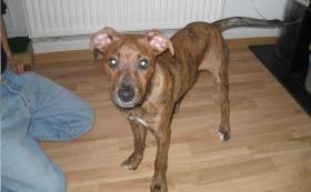 Boxer-Schäferhund-Mix Hündin