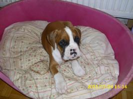 Foto 5 Boxer Welpen