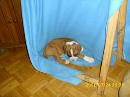 Foto 6 Boxer Welpen