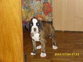 Foto 12 Boxer Welpen