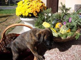 Foto 4 Boxer Welpen
