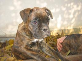 Foto 3 Boxer Welpen zu verkaufen