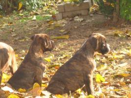 Foto 4 Boxer Welpen zu verkaufen