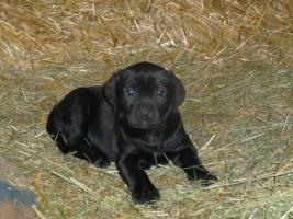 Boxer- Labrador-Welpen