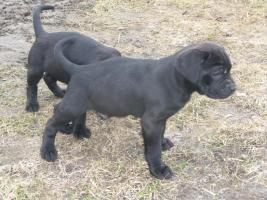 Foto 2 Boxer- Labrador-Welpen
