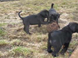 Foto 3 Boxer- Labrador-Welpen