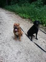 Boxermix und Labradormix abzugeben