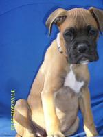 Boxerwelpe 11 Wochen alt........