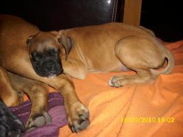 Foto 2 Boxerwelpe 11 Wochen alt........