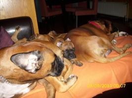 Foto 4 Boxerwelpe 11 Wochen alt........