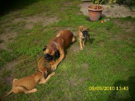 Foto 5 Boxerwelpe 11 Wochen alt........