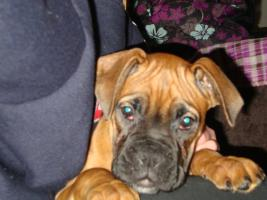 Foto 2 Boxerwelpe Emma