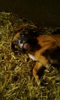 Foto 5 Boxerwelpen
