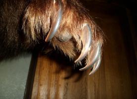 Foto 5 Braunb�r braunb�renpr�parat tierpr�parat auf sockel.inkl. zertifikat