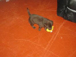 Foto 3 Braune Labrador Welpen Hausaufzucht