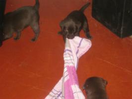 Foto 5 Braune Labrador Welpen Hausaufzucht