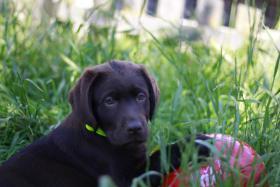 Foto 2 Braune und schwarze Labradorwelpen!