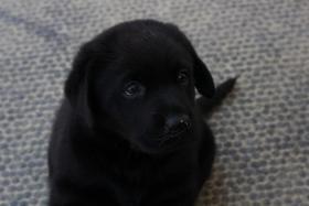 Foto 4 Braune und schwarze Labradorwelpen!