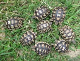 Foto 2 Breitrandschildkröten