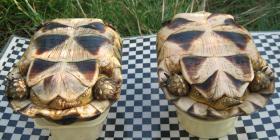 Foto 5 Breitrandschildkröten